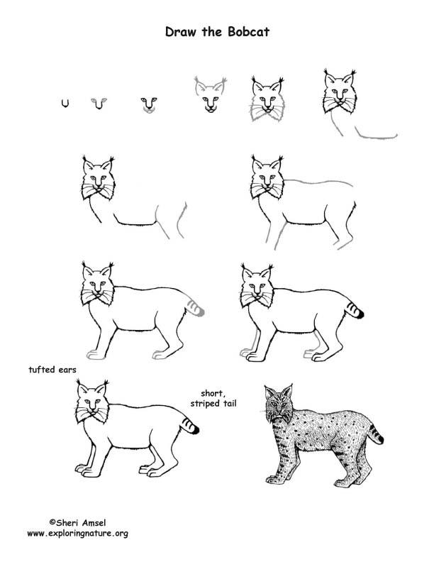 draw-the-bobcat