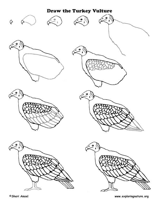 draw-the-turkey-vulture